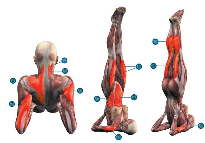 Работа мышц сарвангасана