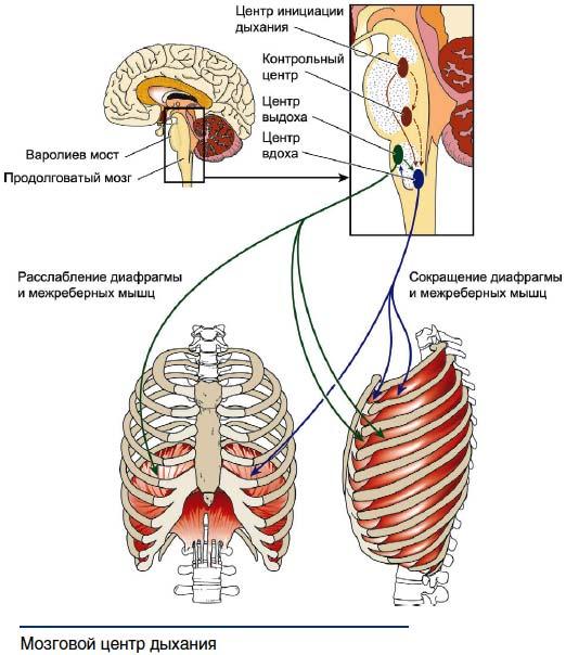 Нарушениями дыхания связаны с функциями