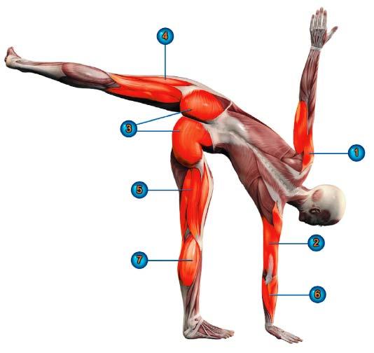 ардха чандрасана мышцы