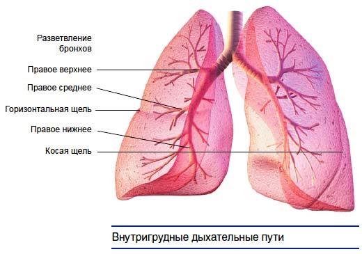 внутригрудные дыхательные пути