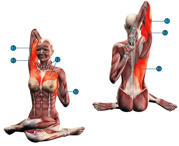 гомукхасана мышцы