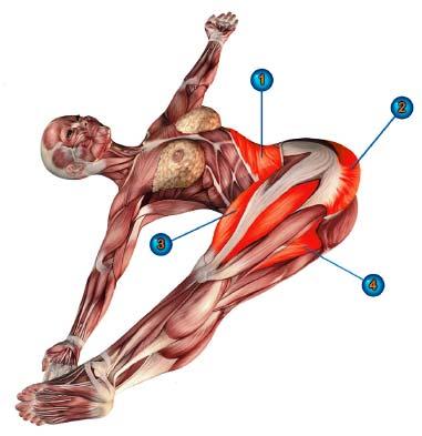 джатхара паривартанасана мышцы