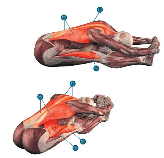 пашчимоттанасана мышцы