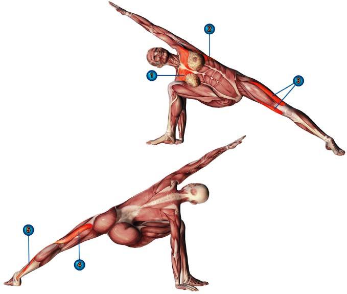 уттхита паршваконасана мышцы