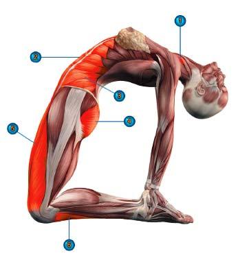 уштрасана мышцы